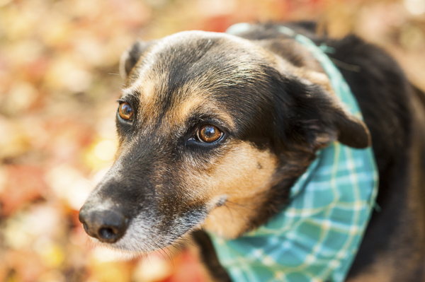 Alice G Patterson Photography-Syracuse dog photography, fall dog photos, mixed breed wearing plaid bandanna