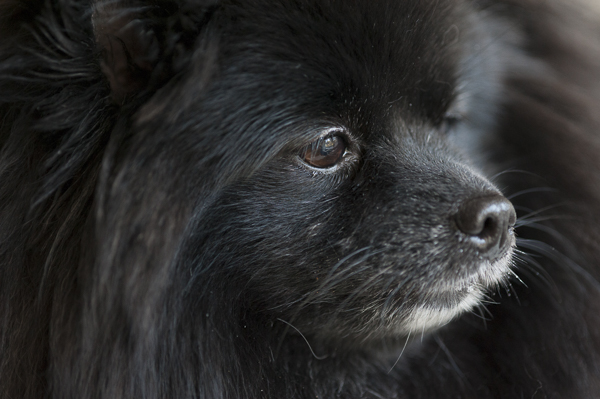 © Alice G Patterson Photography | thoughtful dog, black Pom, dog photography