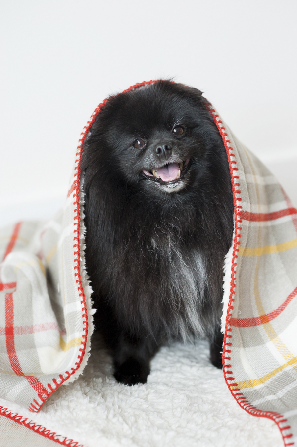 © Alice G Patterson Photography | BanHeartworms, Syracuse Pet Photographer, black-Pomeranian under blanket, lifestyle dog photography