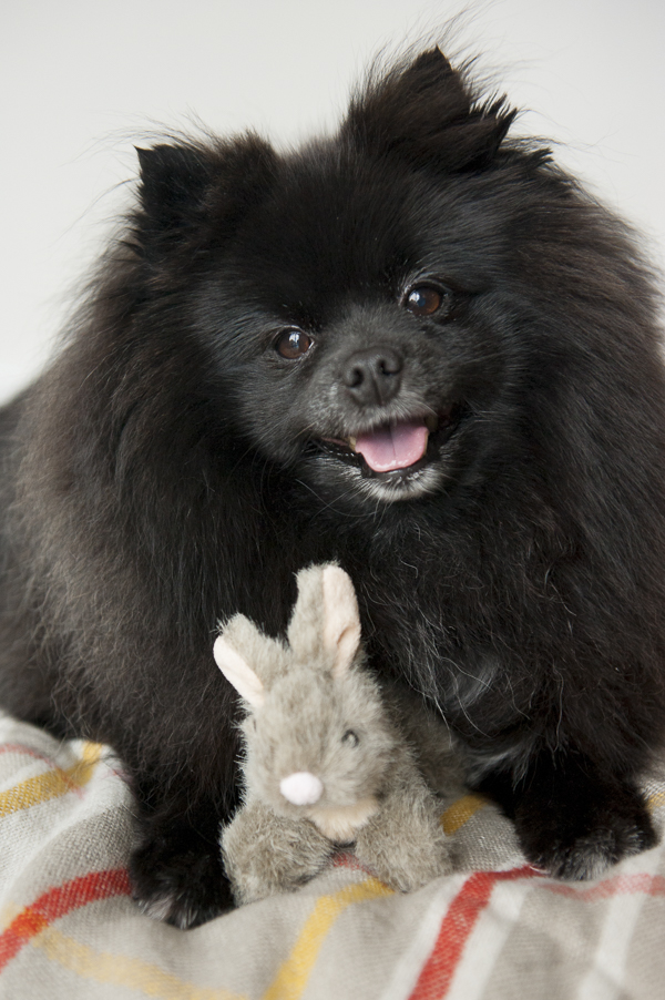 Alice G Patterson Photography Pampered Dog-Syracuse Pet Photographer, happy Pomeranian with toy