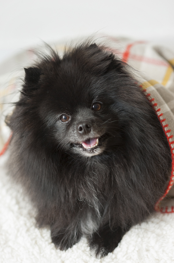 Alice G Patterson Photography | cute black dog, fluffy black dog, Pomeranian-under-blanket, plaid blanket
