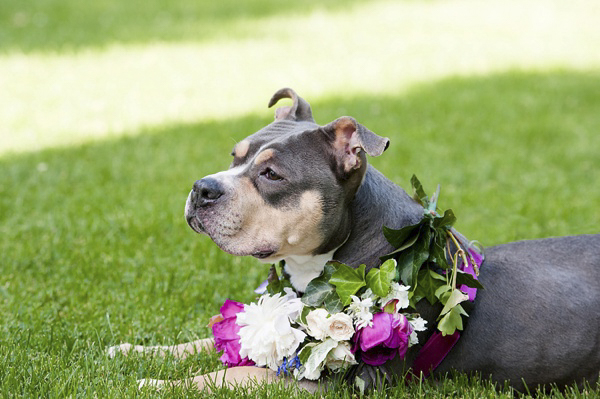 Jenny Karlsson Photography Adoptable Pittie wearing flower queen Halloween costume