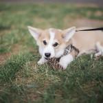 Madeline Barr Photo-Corgi puppy-25