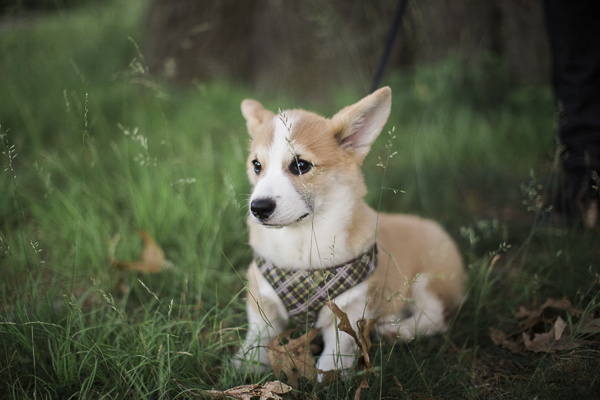 Corgi puppy love, Corgi puppy in grass, Corgi wearing plaid harness