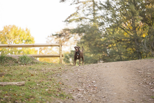 © Samantha Jay Photography | Lab/Pit bull mix next to split rail fence, on location photography