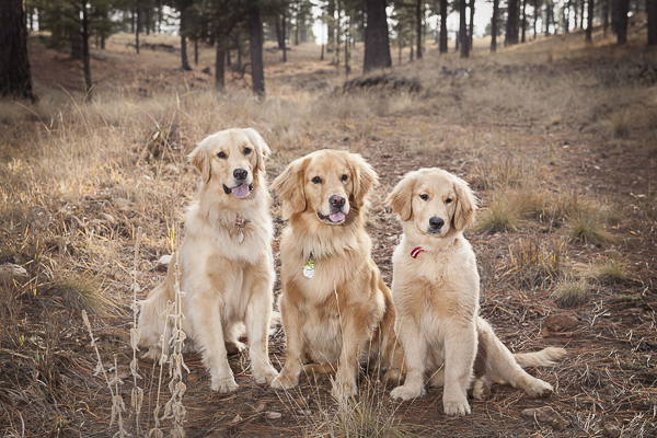 © Tangled Lilac Photography Three Golden Retrievers, on location dog photography