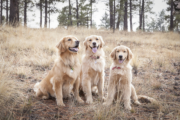 © Tangled Lilac Photography Golden Retrievers smiling, on location photography, AZ pet photography
