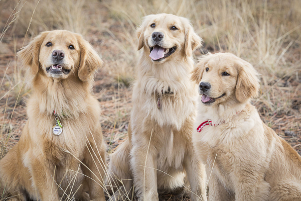 © Tangled Lilac Photography | 3 Golden Retrievers -perfect gift idea-pet photography
