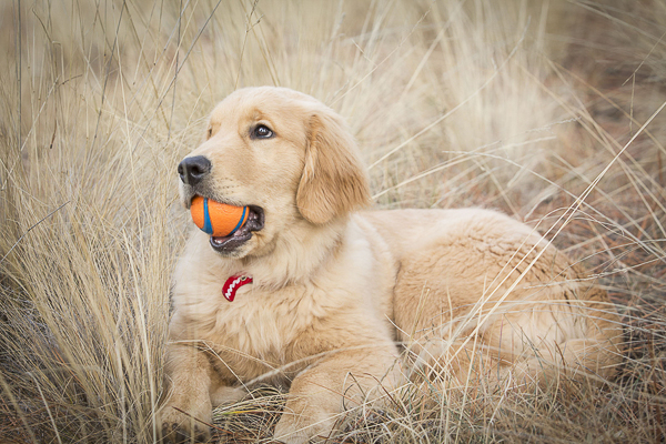 Golden Retriever puppy chewing orange ball © Tangled Lilac Photography