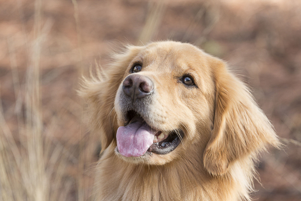 © Tangled Lilac Photography | Golden Retriever on trail, gorgeous dog photography
