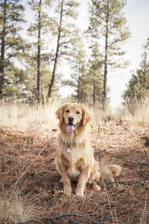 © Tangled Lilac Photography gorgeous Golden Retriever in pine forest