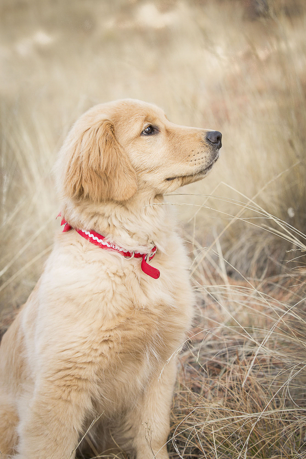 © Tangled Lilac Photography | Golden Retriever puppy wearing red collar, AZ lifestyle dog photography