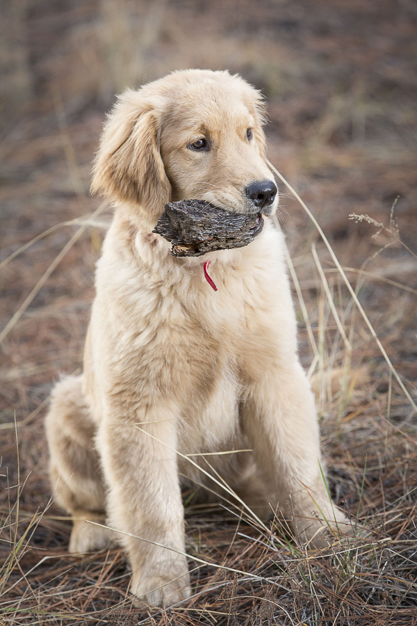 © Tangled Lilac Photography | Golden Retriever with chunk of bark
