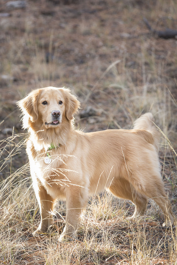 © Tangled Lilac Photography | Golden Retriever on trail, Flagstaff, Sedona Pet Photographers