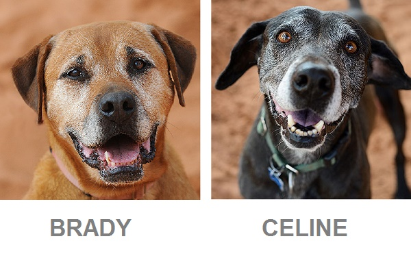 Adoptable senior Ridgeback , senior Lab-Best Friends, caring for aging dog