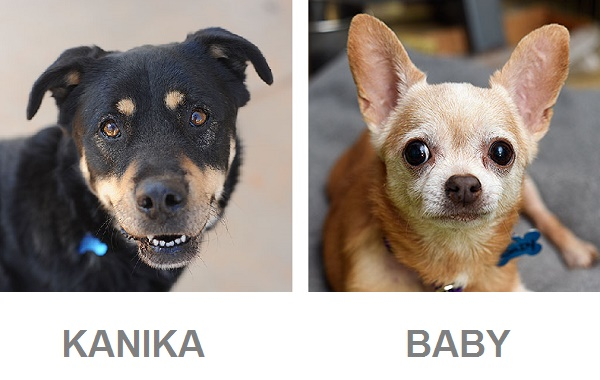 adoptable senior dogs from Best Friends, Rottweiler, adoptable Chihuahua
