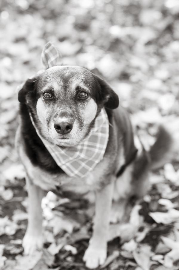 © Alice G Patterson Photography   Syracuse dog photography, fall dog photos