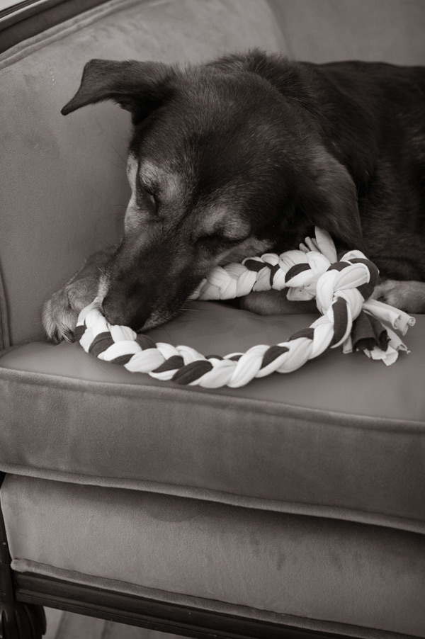 © Alice G Patterson Photography   mixed breed chewing diy toy
