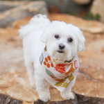 Maltese on giant stump, dog grooming, lifestyle pet photography