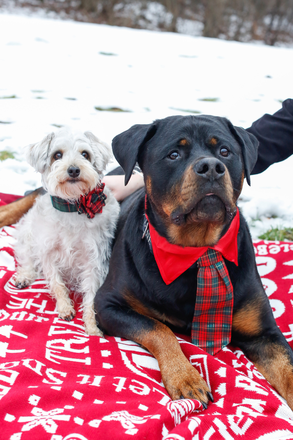 Rottweiler wearing red plaid tie, Schnoodle wearing Christmas collar, dogs on red blanket, holiday photos