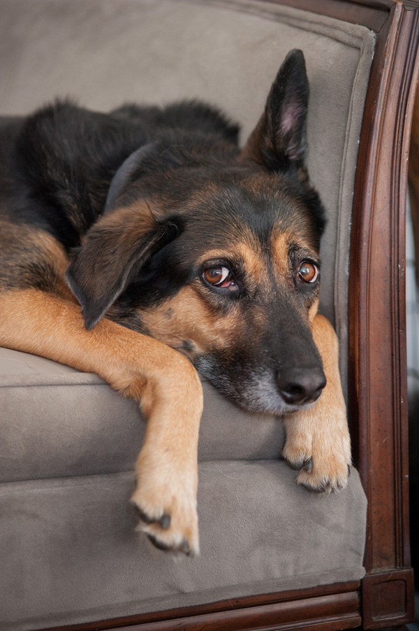 © Alice G Patterson Photography   mixed breed lying on settee, dogs on furniture