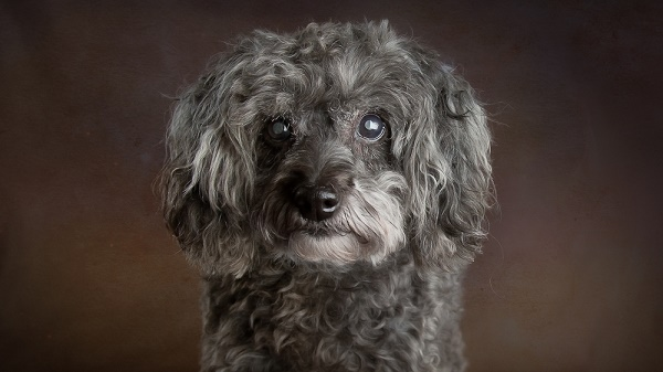 © Stacey Gammon Pet Photography |-Mr. Mo Project-gift of golden years, senior dog, beautiful portraits of old dogs