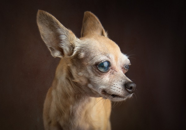 © Stacey Gammon Pet Photography |blind senior Chihuahua, The Mr. Mo Project