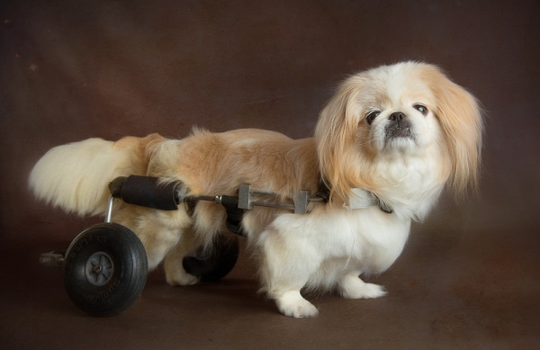© Stacey Gammon Pet Photography | Mr. Mo Project-gift of golden years, beautiful portraits of old dogs, Pekingese in cart