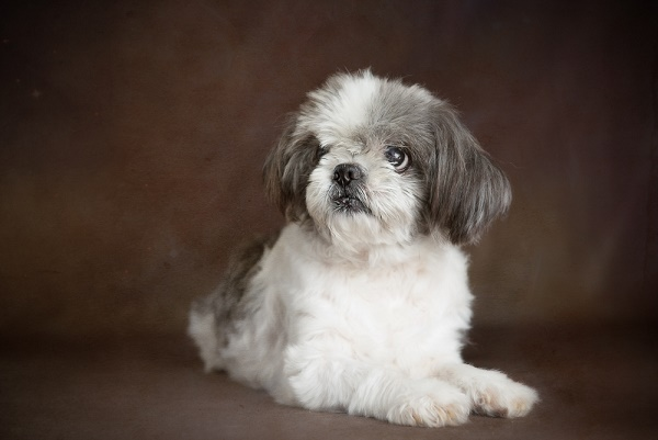 © Stacey Gammon Pet Photography |The Mr. Mo Project-gift of golden years, senior dog, beautiful portraits of old dog, Shih-Tzu
