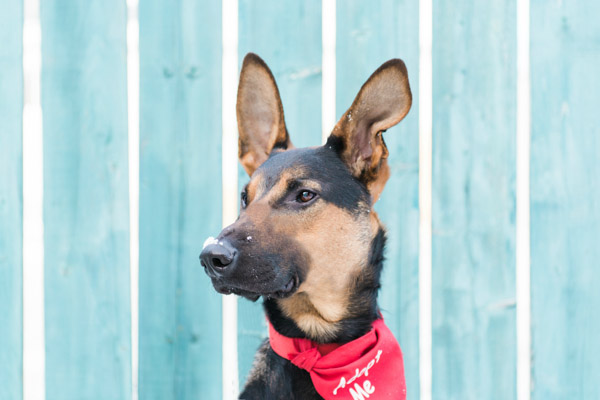 Adoptable Shepherd-Doberman pup, handsome dog adoptable from Freedom Dog Rescue