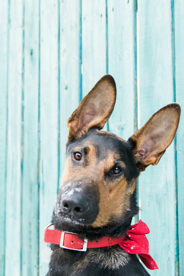 Adoptable young Shephed-Doberman mix
