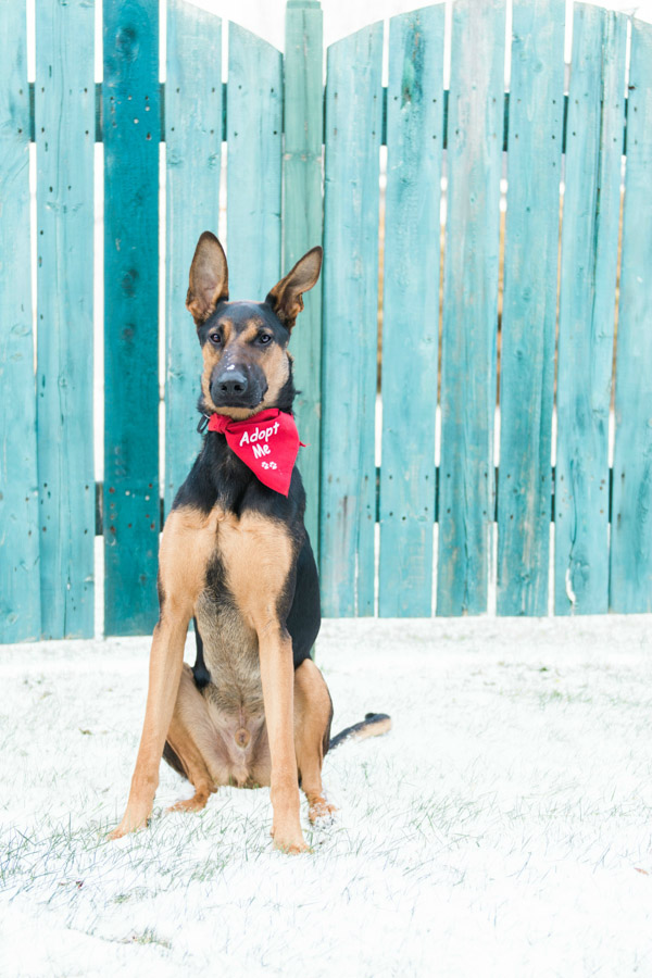 Adoptable Shepherd -Doberman, blue fence, lifestyle dog photography, adopt me!