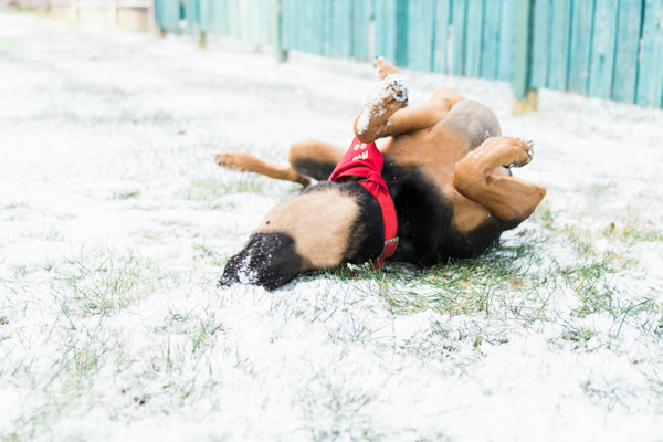 Adoptable Doberman-Shepherd mixed breed rolling in snow