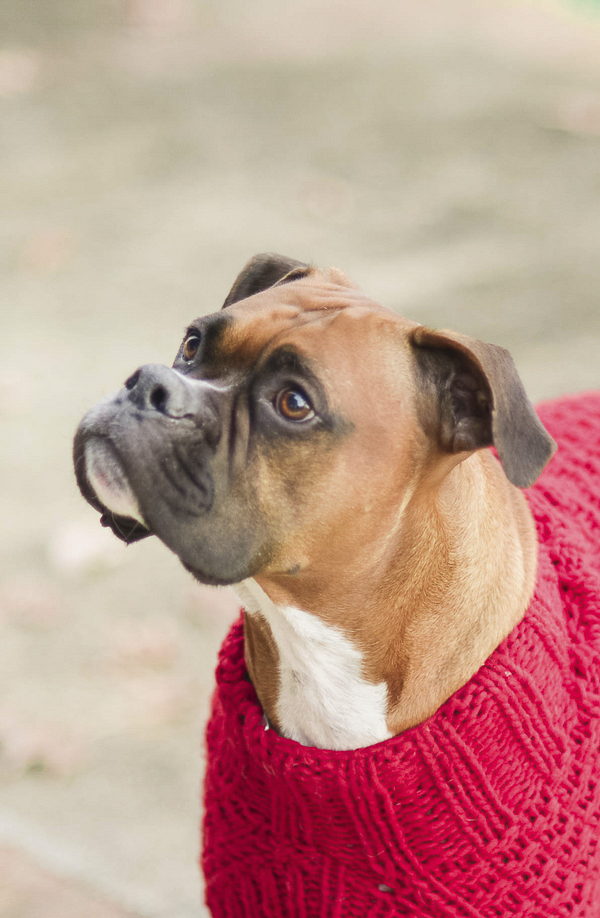 Boxer mix wearing red sweater