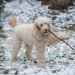 Golden Doodle with stick, dog playing in snow