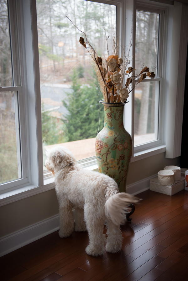 Goldendoodle looking out window, waiting for snow