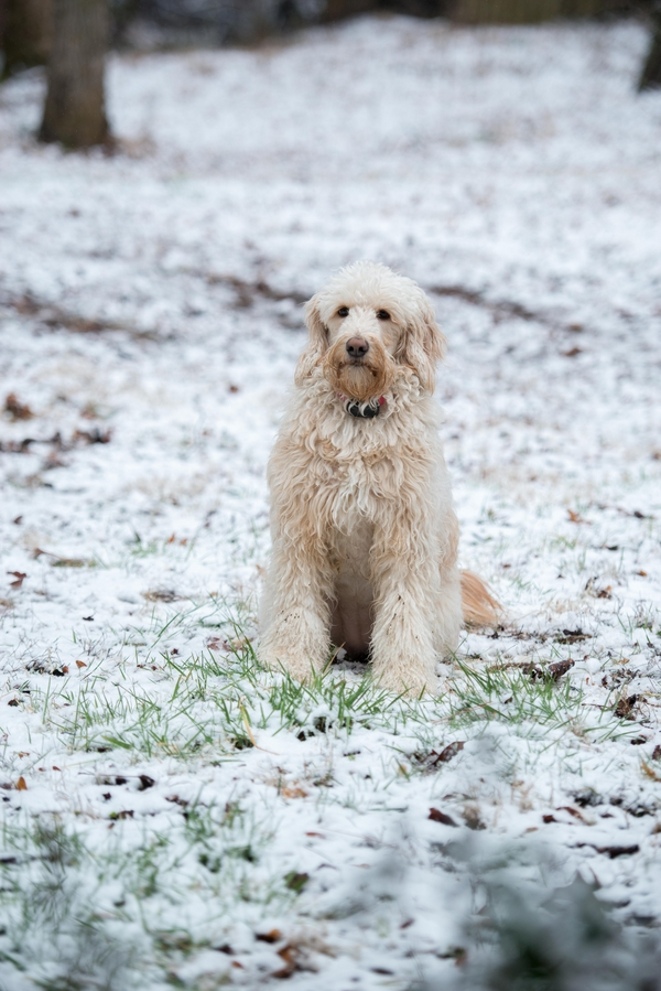 goldendoodle sitting in snow, on location dog portraits, Atlanta pet and wedding photography