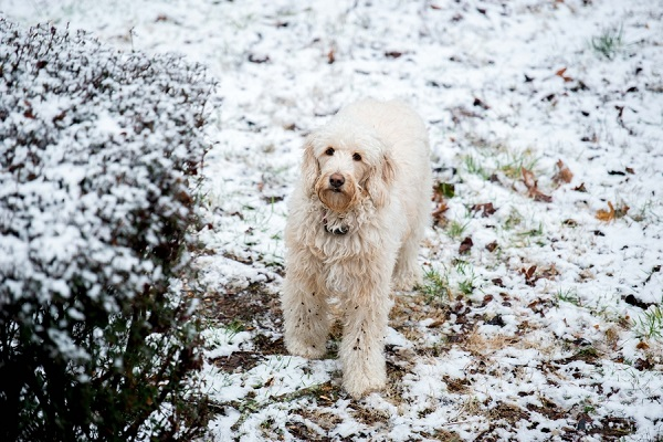 snowy Golden Doodle, on location pet photography