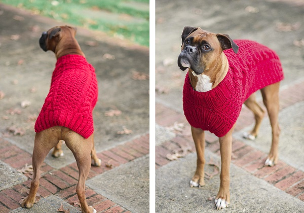 Handsome dog wearing red sweater,