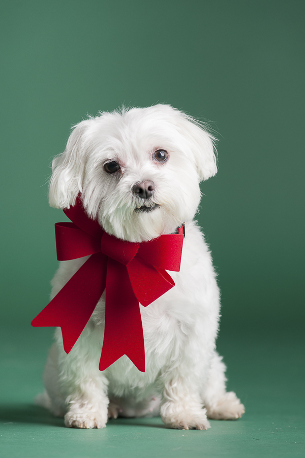 Maltese red bow, green background, studio dog photographer, dog grooming