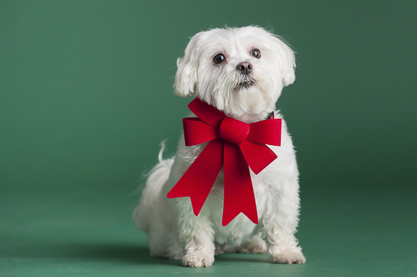 small white dog sitting on green background, big red bow, Maltese, groom dog before photography session