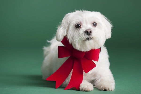 Maltese wearing giant red bow green background