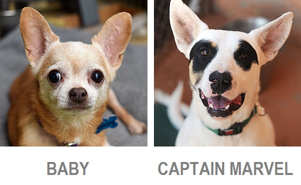 Adoptable Chi, Adoptable mixed breed from Best Friends Animal Sanctuary