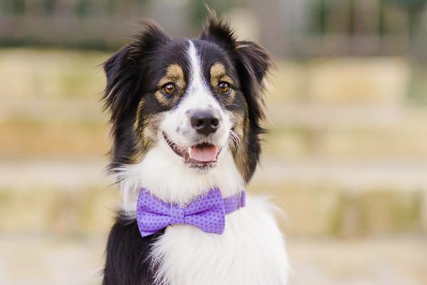 Australian Shepherd in Bone & Bow Tie dog collar