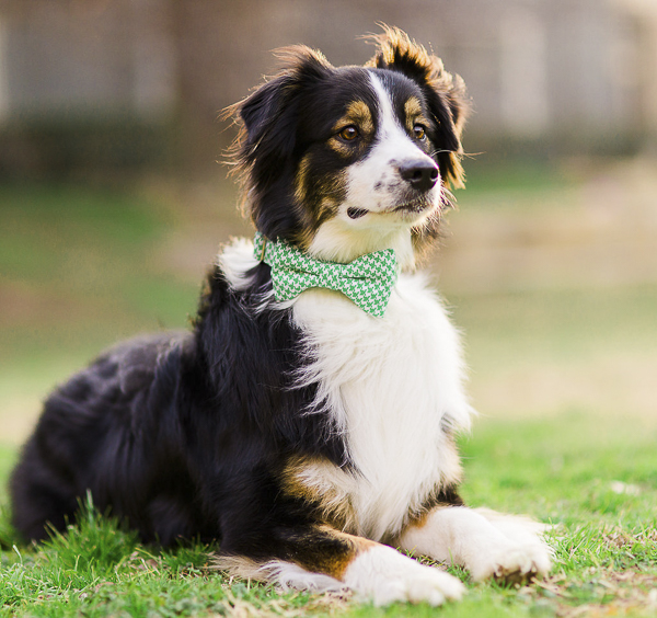 dog wearing green Bone & Bow Tie dog collar