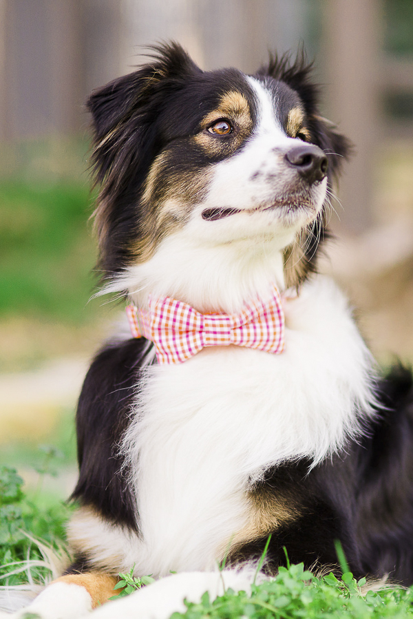 Australian shepherd wearing gingham bow tie, Bone & Bow Tie collars