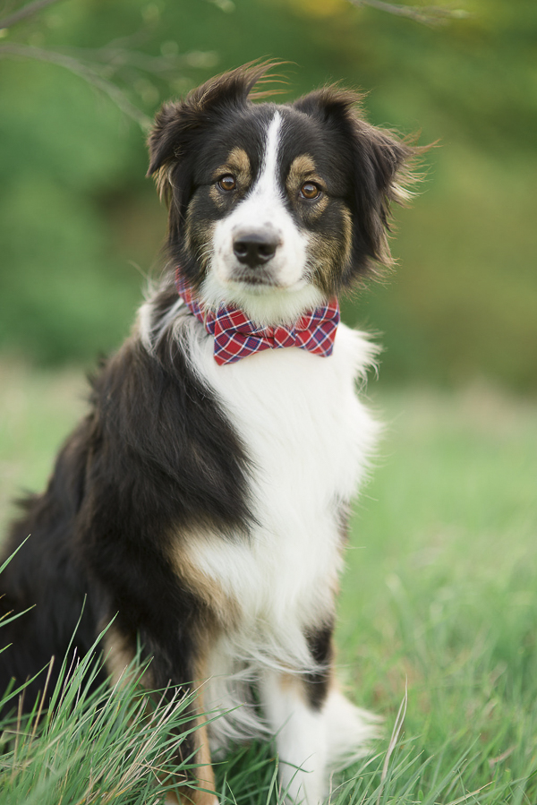plaid bow tie from Bone & Bow Tie dog collar