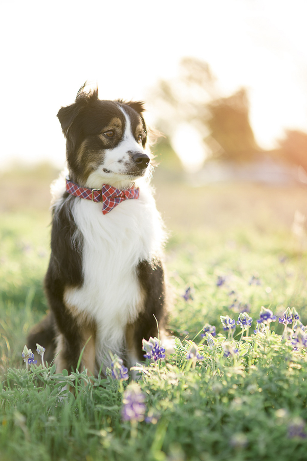 Bone & Bow Tie dog collar, dog in field