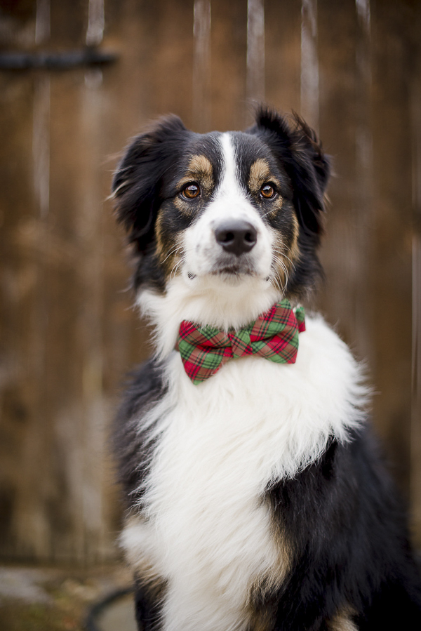 handsome dog in plaid bow tie collar