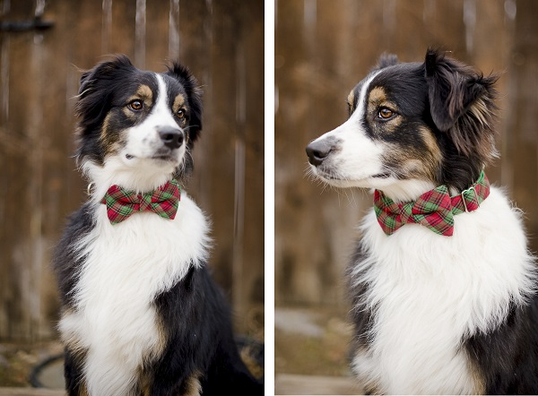 Australian Shepherd wearing green red bow tie collar, Bone & Bow Tie